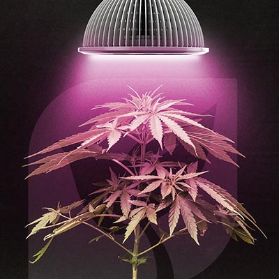 How to Use LED Grow Lights for Growing Cannabis